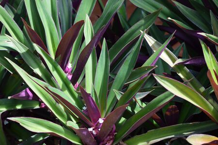 oyster plant: Oyster plant , White flowered tradescantia Stock Photo
