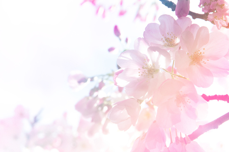 pastel backgrounds: Sakura, the cherry blossom