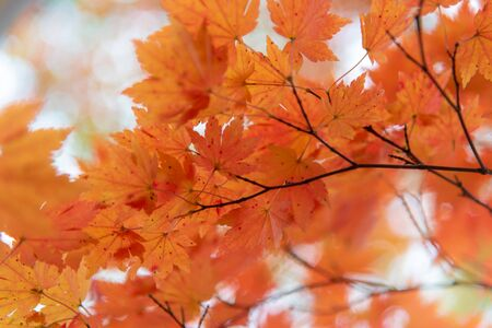 Autumn color leaves season closed up in orange and red color.