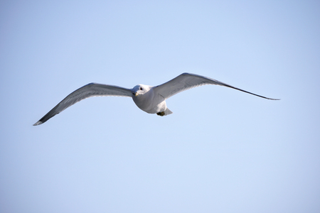Flying seagull in the sky Banque d'images