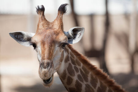 ailment: giraffe in a zoo at north of thailand
