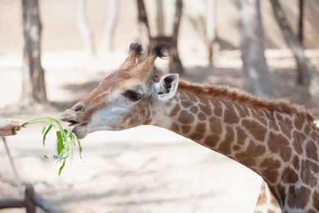 ailment: People feeding a giraffe in zoo of thailand Stock Photo
