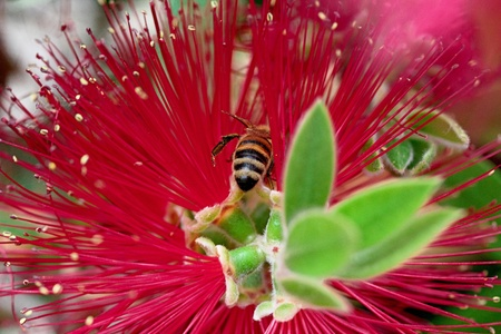 callistemon: Callistemon  brush  with bee above Stock Photo