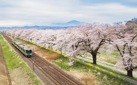 cerezos en flor: flores de cerezo o Sakura y tren de cercanías Foto de archivo