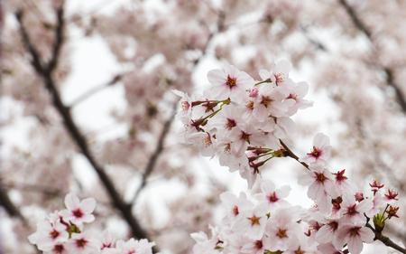 Cherry blossoms or Sakura Zdjęcie Seryjne