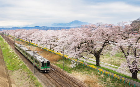 Cherry blossoms or Sakura and train 스톡 콘텐츠
