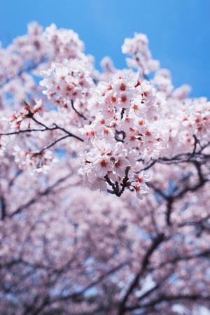 Cherry blossoms or Sakura with blue sky