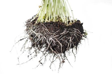 raíz de planta: Conecte las plantas con raíces