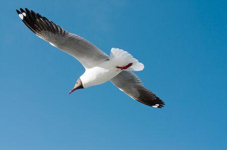spread wings: Seagull spread wings