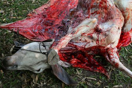 innards: Necropsy cow disease diagnosis Stock Photo