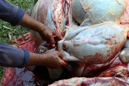 bowels: Necropsy cow disease diagnosis Stock Photo
