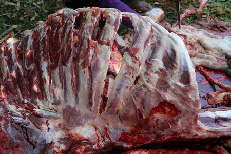 pharynx: Necropsy cow disease diagnosis Stock Photo