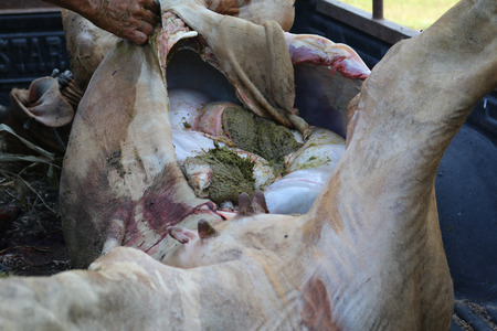 rumen: Necropsy cow disease diagnosis Stock Photo