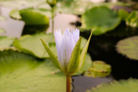 jardines con flores: Lotus en la piscina