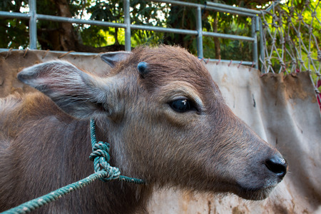 nose close up: Buffalo, Buffalo Thailand, animals,close up eye ,close up eye,nose Stock Photo