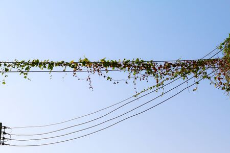 climbing frames: Green leaves on the power electricity line