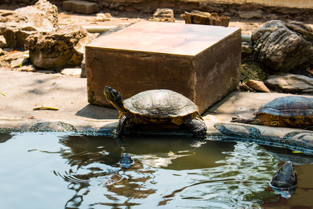 freshwater: Turtles sunning at the pond,Freshwater turtles