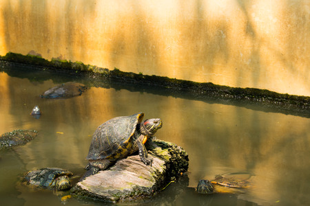 freshwater turtle: Turtles sunning at the pond,Freshwater turtles