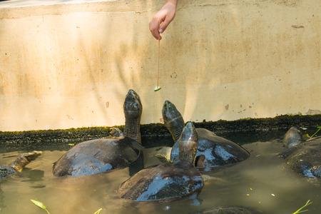 sunning: Turtles sunning at the pond,Freshwater turtles