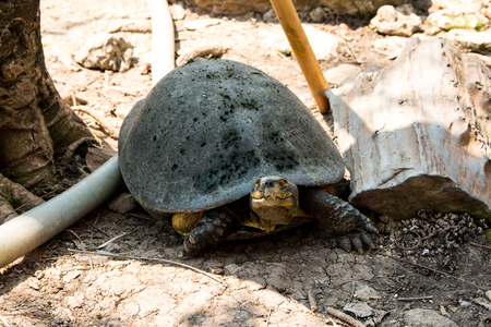 land turtle: Turtles sunning at the pond,Freshwater turtles