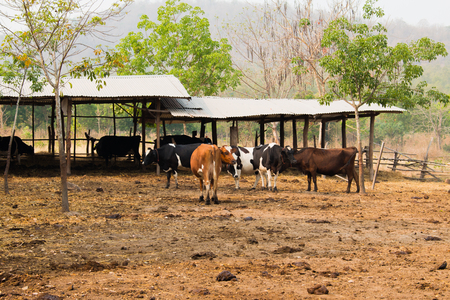 cattle wire wires: group of cow in livestock on the countryside of Thailand