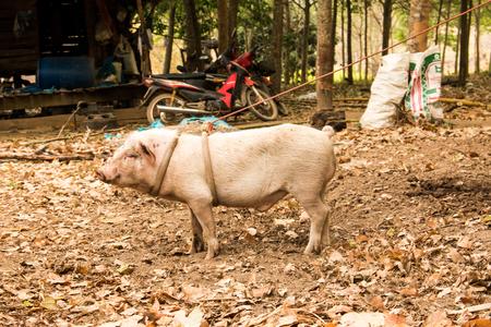 Pig farm induce hitch Thailand. Stock Photo