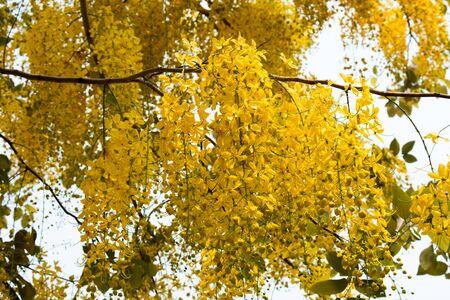 fistula: Cassia Fistula, beautiful Yellow Thai flower background Stock Photo