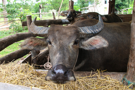 Farm Buffalo in Thailand, animals, closeup eye ,closeup nose