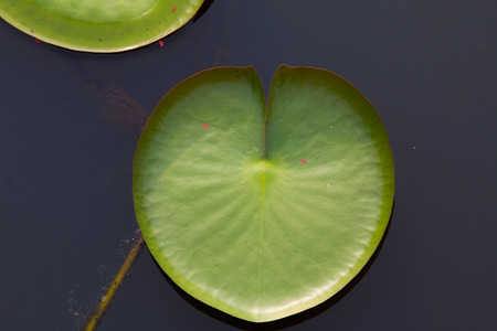 The leaf of lotus on the outdoor