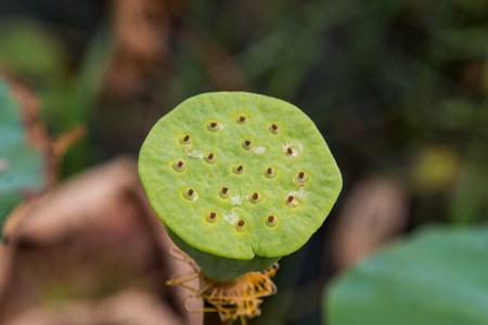 seedpod: Lotus seed in pod