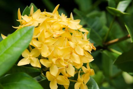 Spike Flower, Yellow Color.Yellow flower spike.Ixora Flower
