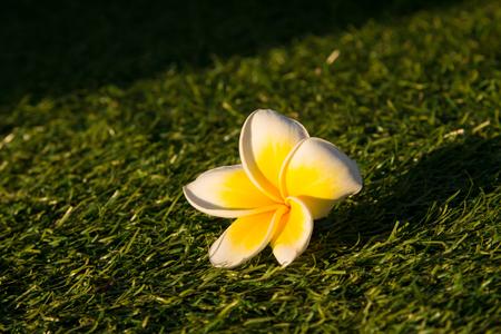 tahitian: beautiful Tropical flowers frangipani  or Plumeria Isolated on grass