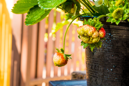 zoomed: Strawberry berries fresh from the tree.