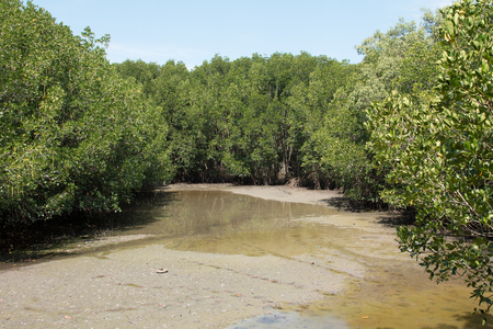 huge tree: mangrove  forest inThailand