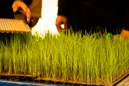 Young seedlings of rice prepared in the tray