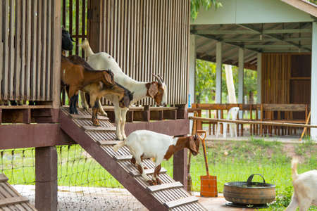 baby goat: goats in the farm in Thailand Stock Photo