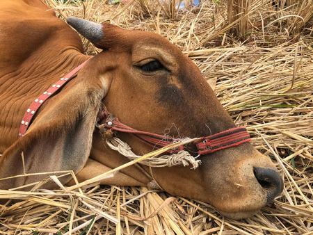 Vaches malades, vétérinaires au milieu du terrain.