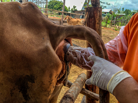 artificial insemination of cow in Thailand