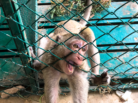 The sad monkey shows in the cage waiting for a body check. Stock Photo