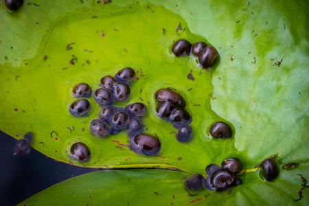 shellfish on the lotus leaf