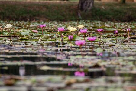 Beautiful waterlily or lotus flower in pond.