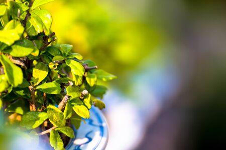 beautiful Carmona retusa or Fukien tea tree in the flowerpot at the palace in Phetburi ,Thailand Zdjęcie Seryjne
