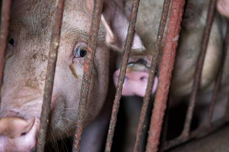The farm pig ,walking in the sty, look like sad, cant go outside Stock Photo