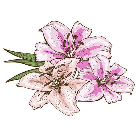 Bouquet of three pink lily flowers hand drawn isolated on white background. Vector Illustration