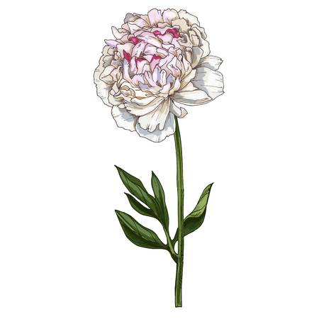 Hand drawn gently pink peony flower isolated on white. Botanical vector