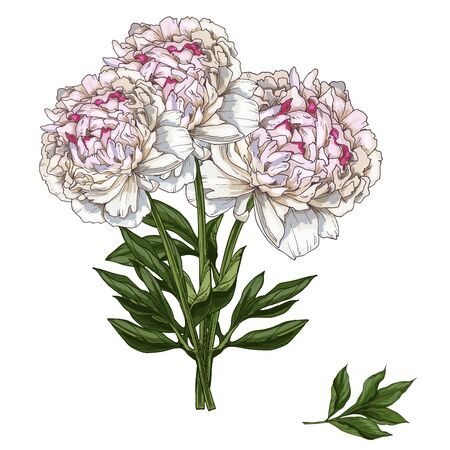 gently: Hand drawn bouquet of gently pink peony flowers isolated on white background. Botanical vector