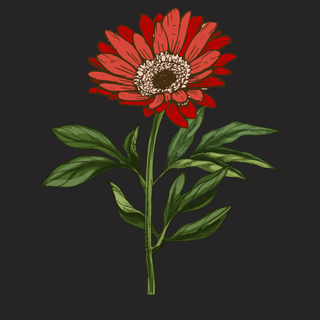 Hand drawn red daisy flower with stem and leaves isolated on black background. Botanical vector Illustration
