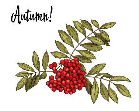Hand-drawn rowan branch with red berries and autumn leaves isolated on white background. Vector Illustration