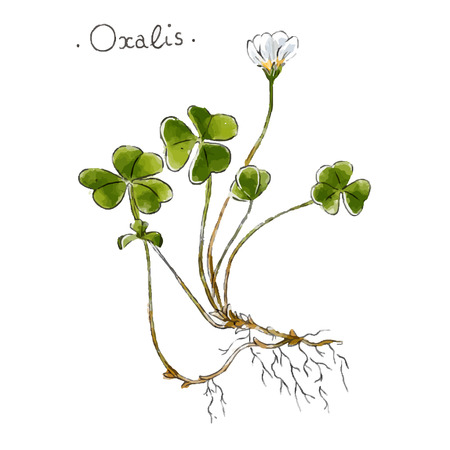 Wild plant oxalis hand drawn vector illustration Иллюстрация