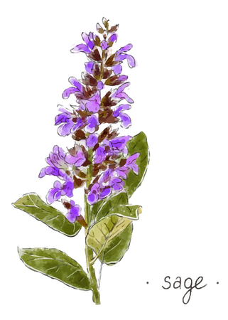 Wild plant sage hand drawn in color herbal vector illustration.